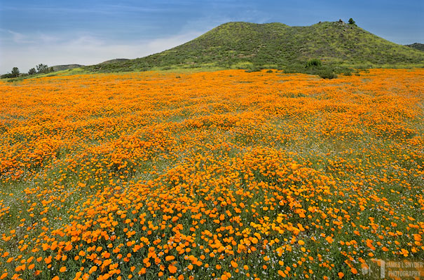 Wildflowers of Wildomar