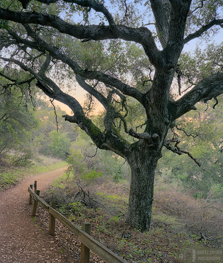 Coast Live Oak, Twilight
