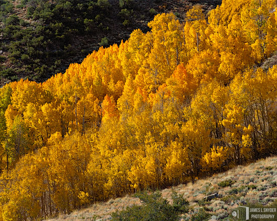 Band of Golden Aspens